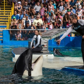 Lolita, the world's oldest captive orca at the Miami Seaquarium, one of the oldest oceanariums in the United States.