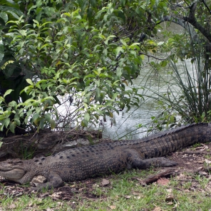 American crocodile in the Everglades National Park